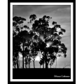 Blue Gum Trees at Sunrise 1