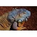 Colourful Iguana Lizard