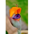New Reginae Strelitzia Blossom