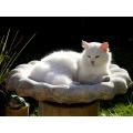 White Cat in a Bird Bath