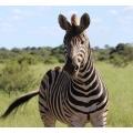 Zebra saying hello