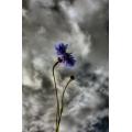 Centaurea Cyanus 1