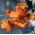 Daedala florum incognita 2