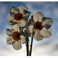 Narcissus Geranium 1
