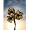 Narcissus Geranium 2