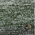 Juvenile Duck having Swim