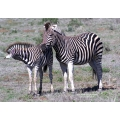 Mom and foal Zebra