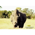 White dehorned Rhino