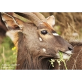 Young Nyala Bull having a Snack