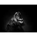 Lion Yawn