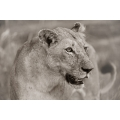Attentive Lioness