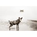 Wild Dog Hippo Stare