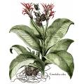 New Vintage Botanicals Roomset 4 Canna Indica Rubra