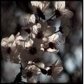 Ceres Blossom
