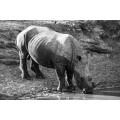 Drinking Rhinoceros