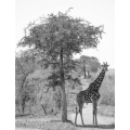 Giraffe and the Tree