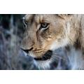 Lioness Deep Focus