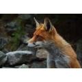 Fox Stares