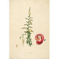 Mimosa Dutcis