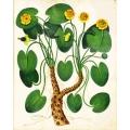 Botanical Water Lily Italian 2