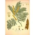 Acacia Catechu Common Name