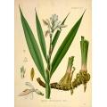 Alpinia Officinarum Hance