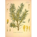 Astragalus Gummifer Labillardiere