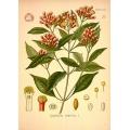 Cloves Botanical Illustration