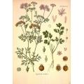 Coriander Botanical Drawing