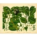 Elemi Canarium Luzanicum