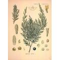Juniperus Sabina Leaf
