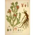 Krameria Triandra