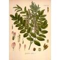 Licorice Plant Glycyrrhiza Glabra