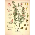 Medicinal Plant Botanical illustration