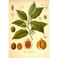Nutmeg Botanical Print