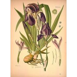 Orris Root Botanical