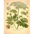 Peucedenum Ostruthium