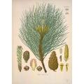 Pinus Nigra