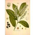 Prunus Laurocerasus Flowers