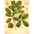 Pterocarpus Marsupum Roxb