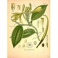 Vanilla Planifolia Bean