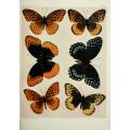 Butterfly Plate IX