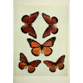 Butterfly Plate VII