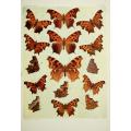 Butterfly Plate XIX