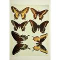Butterfly Plate XLI