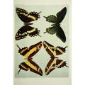 Butterfly Plate XLII