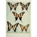 Butterfly Plate XLIV