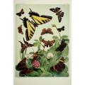 Butterfly Plate XLV