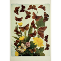 Butterfly Plate XLCII