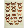 Butterfly Plate XVI